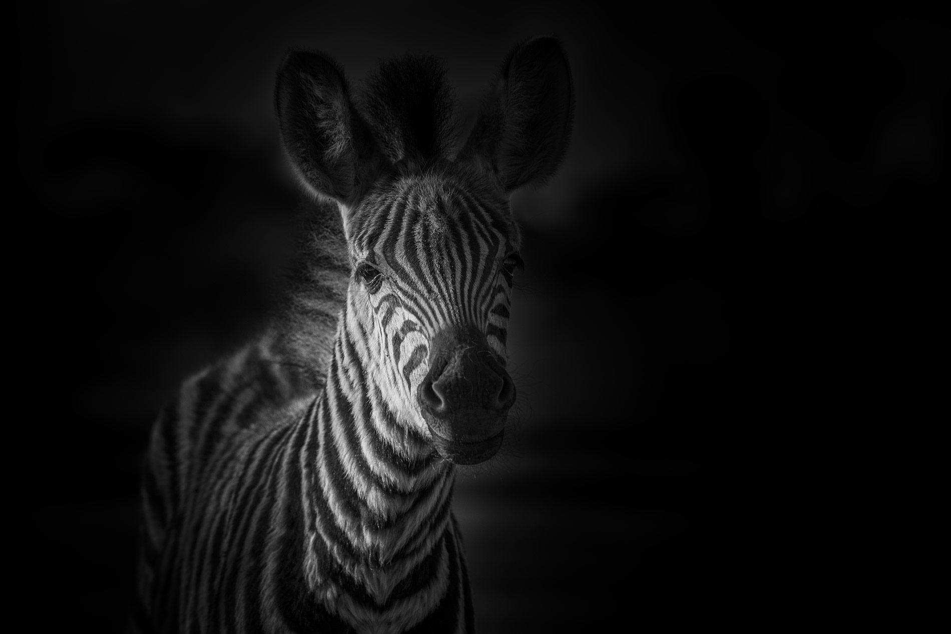 Zebra Krugerpark