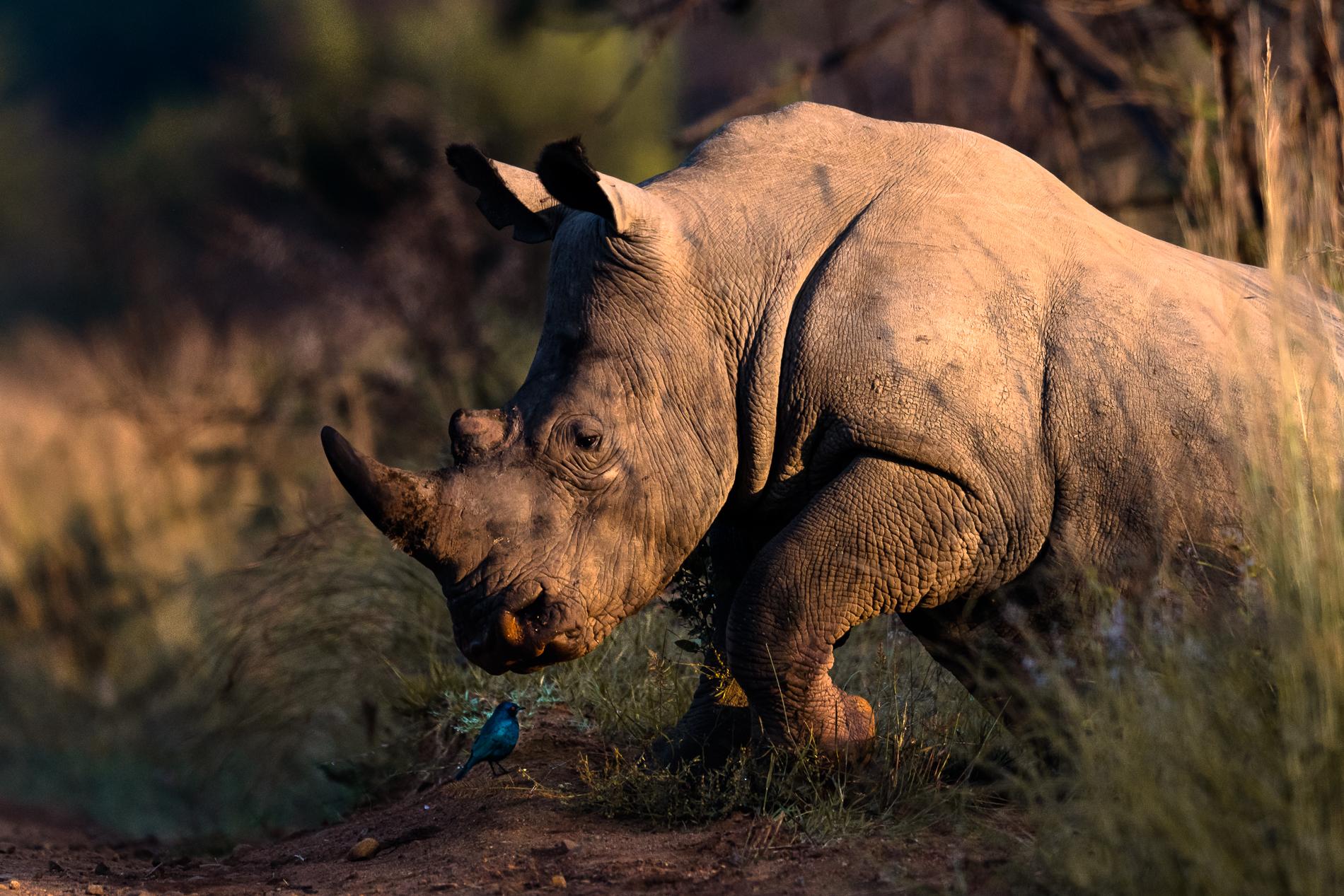 Rhino Pilanesberg