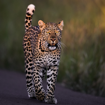 Leopard Pilanesberg